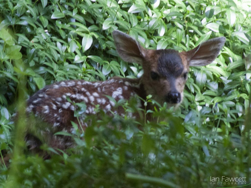Deer - 01