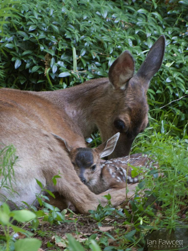 Deer - 02